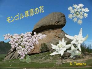 モンゴル草原の花3